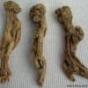 La racine de Codonopsis (Dang Shen) dans la pharmacopée chinoise