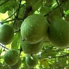 Le fruit de Siraitia Grosvenorii (Luo Han Guo) en médecine chinoise