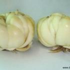 Bai He : Le bulbe de lys en médecine chinoise