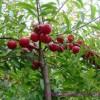 Le noyau Yu Li Ren du fruit du cerisier du Japon