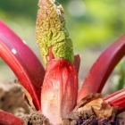 La rhubarbe (Da Huang)