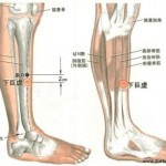 Le point Xia Ju Xu du méridien de l'estomac (39E)