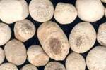 Ban Xia : rhizome de Pinellia Ternata