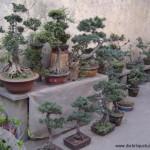 Plusieurs beaux bonsaïs