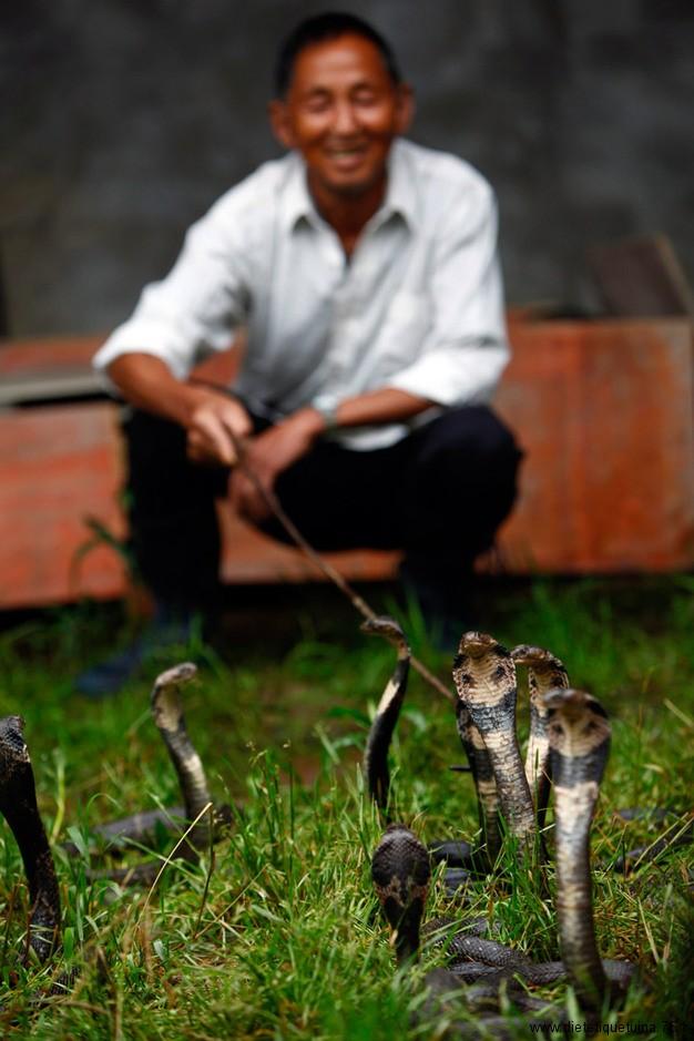 Elevage de cobras en Chine