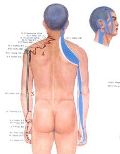 Tendino musculaire