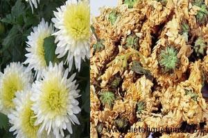 fleurs de chrysanthème en médecine chinoise