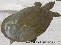 Les tortues molles des supermarchés chinois