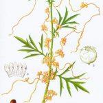 La graine de Cuscuta chinensis Lam. (Tu Si Zi)
