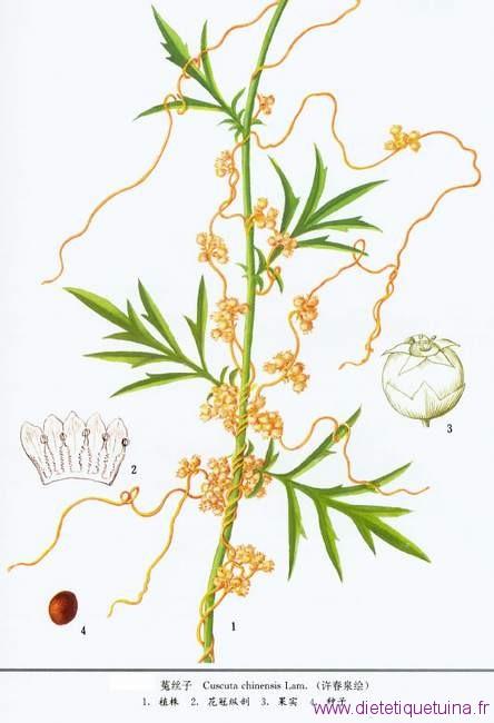 La plante en détails Cuscuta chinensis Lam.