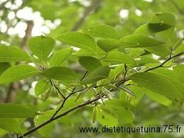 Feuilles d'arbre eucommia