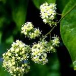 Herbes ayant une toxicité trop importante