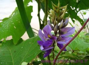 La fleur de la plante kuzu