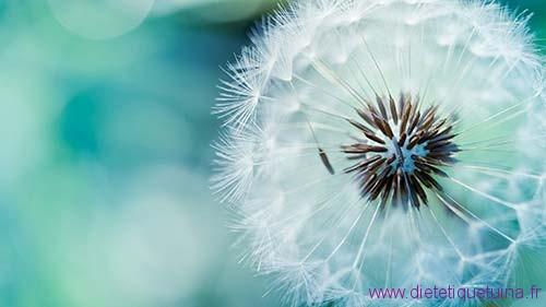 La fleur du pissenlit