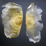 Mu Hu Die : les graines d'oroxyli indici