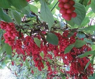 Le fruit du schisandra