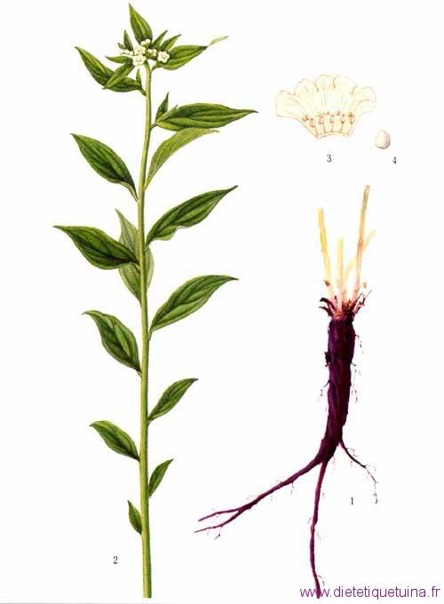 Photo de la plante Zi Cao