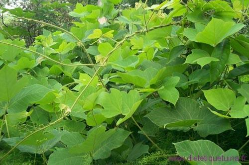 Kuzu la plante entière
