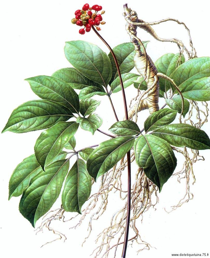 Plante qui produit le ginseng