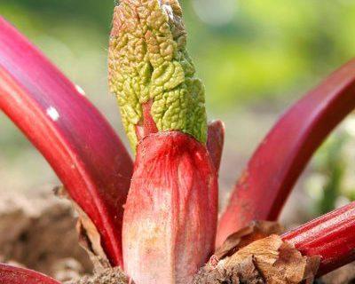 Nouvelle plante rhubarbe